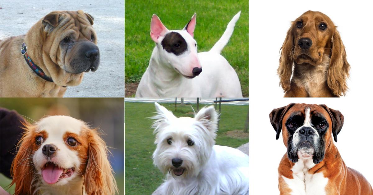 沙皮狗 / Shar Pei; 鬥牛㹴 (又稱布爹利) / Bull Terrier; 英國可卡犬 / English Cocker Spaniel; 查理斯王騎士犬 / Cavalier King Charles Spaniel; 西高地白梗 / West Highland White Terrier; 拳師犬 / Boxer;